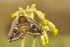 Emperor Moth - Female (Saturnia pavonia) on Cowslip (Primula veris) (PeterBrooksPhotography) Tags: commoncowslip cowslip d5200 eastsussex emperormoth flower insect moth nikon peterbrooksphotography portrait primulaveris saturniapavonia saturniidae season silkmoth spring sussex uk wildlife