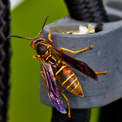 Wasp (ramseybuckeye) Tags: wasp insect nature