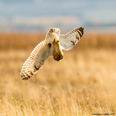 death dive (blackfox wildlife and nature imaging) Tags: canon 80d sigma150600mmossport shortearedowl bif owls raptor birdofprey wirral wildlife