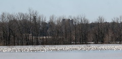 Snow Geese (Peter Simpson) Tags: snowgeese flooded areas eastern ontario canon f4