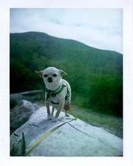 dog on a log (EllenJo) Tags: verderiver clarkdale az arizona colorpack3 landcamera fujifp100c lowertapcorap april17 2017 springtimeinaz kayaking ellenjo littledoglaughedstories chihahua simon dog pet cute adorable bornin2013 little small