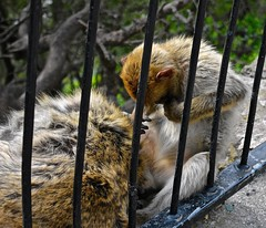 Apes (nicvictor) Tags: gibraltar barbaryape upperrock wildlife outdoor