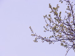 Plum tree (nofrills) Tags: 梅 ウメ flora floral nature urbannature plant plants plum plums tree urbantree leaf leaves foliage green