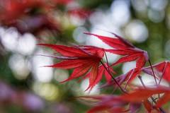 Brand New Maple Leaves (JPShen) Tags: leaf leaves new maple brand red bokeh light