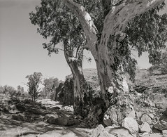 Red Gum (GrisFroid) Tags: flindersranges landscape redgum riverredgum trees southaustralia mamiya rz67 sekor 50mm f45 w ilford fp4 125