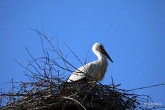 volatili (vito.nobile) Tags: uccelli volatili acqua lipu cicogna racconigi italia piemonte torino