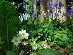Primrose (Andrew Gustar) Tags: 117picturesin2017 westonbirt arboretum primrose bluebells woodland