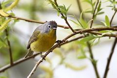 Nashvillle warbler (jlcummins - Washington State) Tags: nashvillewarbler yakimacounty washingtonstate bird canon tamronsp150600mmf563divcusd