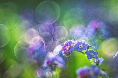 Bokeh Blossom (Dhina A) Tags: sony a7rii ilce7rm2 a7r2 pentacon av 80mm f28 pentaconav80mmf28 bokeh circle bubble projector projection lens trioplan diaplan spring blossom green forgetmenot