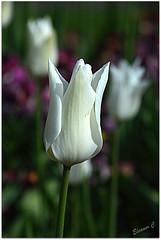 Elegance (Eleanor (No multiple invites please)) Tags: tulip whiteflower kensingtongardens london nikond7100 april2017 coth5