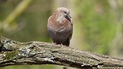 a pigeon on a branch / un pigeon sur une branche (3) (Franck Zumella) Tags: pigeon bird oiseau branch branche red rouge marron