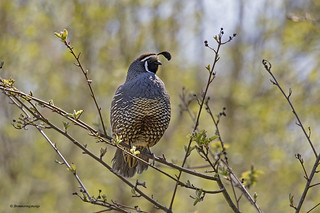 California Quail | Colin de Californie