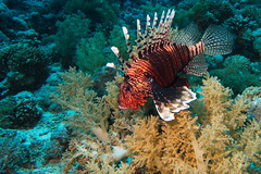 Lionfish (antony5112) Tags: lionfish redsea sharm sharmelsheikh underwater scuba diving sub underwaterlife underwaterworld