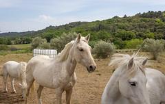 Chevaux de Belarga (ReactorOne) Tags: cheval chevaux horse belarga prairie france troupeaux poulain