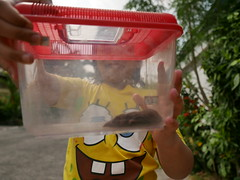 asian house shrew (DOLCEVITALUX) Tags: asianhouseshrew shrew rodent philippines mammal animal nikond90 panasoniclumixls100