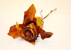 Autumn Bloom (Michelle O'Connell Photography) Tags: autumn brown fall leave leaves rose yellow season death gold golden scotland leaf maple decay glasgow bloom roseleaves roseleaf michelleoconnellphotography