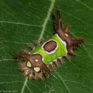 Saddleback caterpillar [Acharia stimulea]