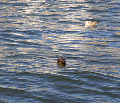 Seal - Pittenweem Harbour (Lee6700) Tags: scotland fife seal pittenweem theeastneukoffife