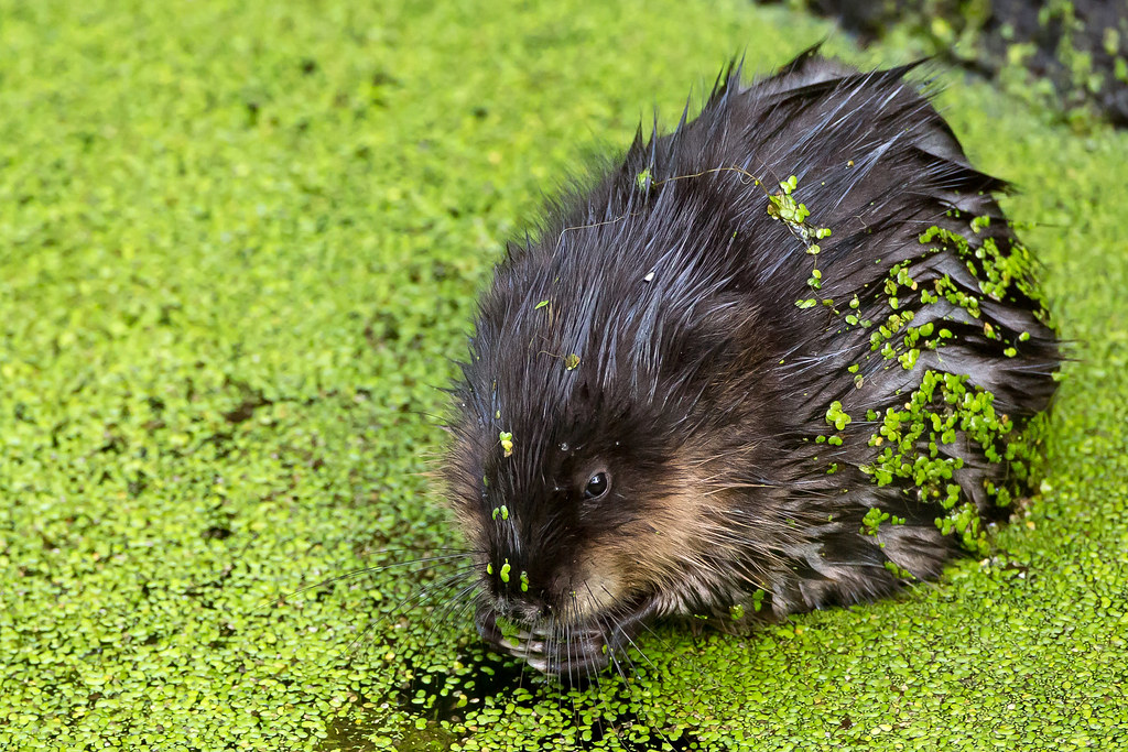 Chowing Down - Muskrat