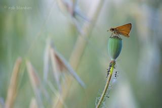 Thymelicus sylvertris (Small Skipper, geelsprietdikkopje)