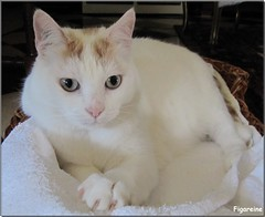 Mouna (Figareine- Michelle) Tags: chat coth supershot bestofcats kittyschoice fabuleuse catmoments coth5