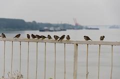 Spatzen in Vidin (Bulgarien) (ekick) Tags: birds river tiere wasser vgel fluss danube donau bulgarien vidin