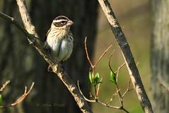 Rose-breasted Grosbeak (female) (John Prior 55 - Happy New Year!) Tags: birds spring migration springtime songbirds grosbeaks rosebreastedgrosbeaks