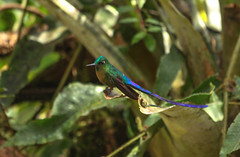 Violet-tailed Sylph Hummingbird (ashahmtl) Tags: bird ecuador hummingbird pichinchaprovince aglaiocercuscoelestis violettailedsylph mindolindo nearmindo