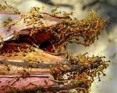 Green tree ants (Jomak1) Tags: family holiday tree green insect workers nest ant australia september ants queensland worker weaver portdouglas tropics antennae colony 2014 oecophyllasmaragdina greentreeants jomak1