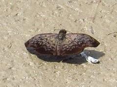 Camptopleura theramenes or auxo (Birdernaturalist) Tags: peru butterfly wings skipper manu hesperiidae pyrginae richhoyer kosnipata