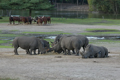 Rhinoceroces (-JvL-) Tags: nederland rhino rhinoceros safaripark beeksebergen noordbrabant neushoorn hilvarenbeek