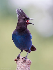 Steller's Jay (Peter Bangayan) Tags: nature birds canon wildlife bluejay tamron natures stellersjay eos7d tamronsp150600mmf563divcusd