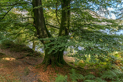 Early Autumn by Ullswater (hehaden) Tags: autumn tree fall leaves lakedistrict cumbria beech ullswater