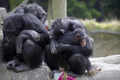 Stop the Imprisonment. (Glenn F.) Tags: bad wrong stop caged torture ape depressed chimpanzee abuse grf