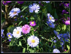 aster flower fleur