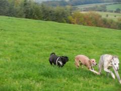 walk 094 (adore62) Tags: walk pug whippet italiangreyhound