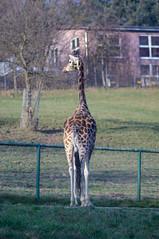 Hello? Anybody? (Chris.Har) Tags: ar sony giraffe konica opelzoo 135mm hexanon kronberg nexc3
