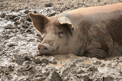 Enjoying The Spoils Of The Day (peterkelly) Tags: usa digital pig us vermont unitedstates mud unitedstatesofamerica ears northamerica lying hog shelburne shelburnefarms