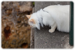 """""""I see fishies down there!"""" (Craig Jewell Photography) Tags: park grass cat diesel bokeh iso400 sydney 85mm australia ragdoll 2014 f35 flamepoint kurraba ef85mmf18usm 0ev canoneos5dmarkii sec 335043s1511323e filename20141013164055mg9433cr2"""