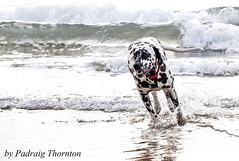 IMG_3358 (padraig thornton) Tags: ireland red sea dog pet beach nature water canon blackwhite waves dalmation 101 7d collar thoroughbred bundoran thornton 70200mm padraig cannine pfjthorntongmailcom codongal