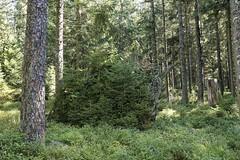Scheibenwelt 01 (ULF72) Tags: wald schwarzwald fichten scheibenwelt alexanderschanze