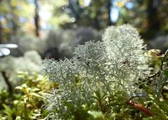 Caribou Moss (nikagnew) Tags: light white forest moss novascotia bokeh ground rays longlake