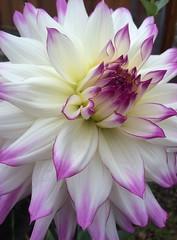 Dahlia (Ian Threlkeld) Tags: iphonedahliadahliasbloomingbloomsflowers
