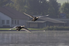Flying lesson (Pavel Vanik) Tags: bird water canon flying swan pond pilsen 7d czechrepublic lesson bohemia plze 70300lis