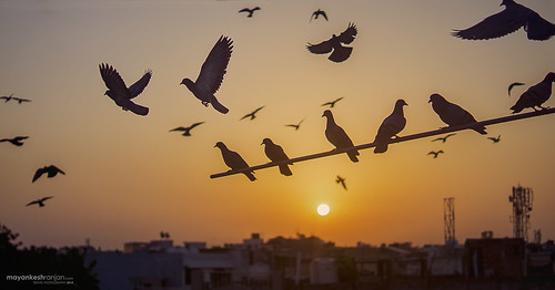 Pigeons in morning