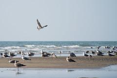 Aterrizaje (donseveriano) Tags: bird birds nikon huelva aves andalucia ave pajaros pajaro gaviotas v1 puntadelmoral