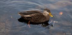 Ducks - Shubie Park (londa.farrell) Tags: park nature canon novascotia ducks canonrebel dslr canondslr shubiepark canonrebelxsi canonxsi
