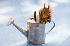 water can seat (Geert Weggen) Tags: blue red nature animal mammal rodent squirrel wateringcan geert watercan waterpot wateringpot caster molder weggen ilobsterit hardeko