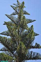 PinePatterns (mcshots) Tags: california travel summer plants usa tree pinetree pine coast patterns branches stock socal needles mcshots venturacounty norfolkislandpine