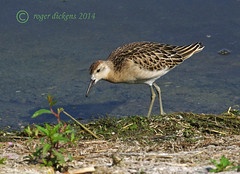 Ruff fem 04 (Roger Dickens) Tags: bird ruff warwickshire reeve wetland wader philomachuspugnax 17converter pentax300mm